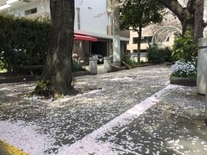 桜20150403